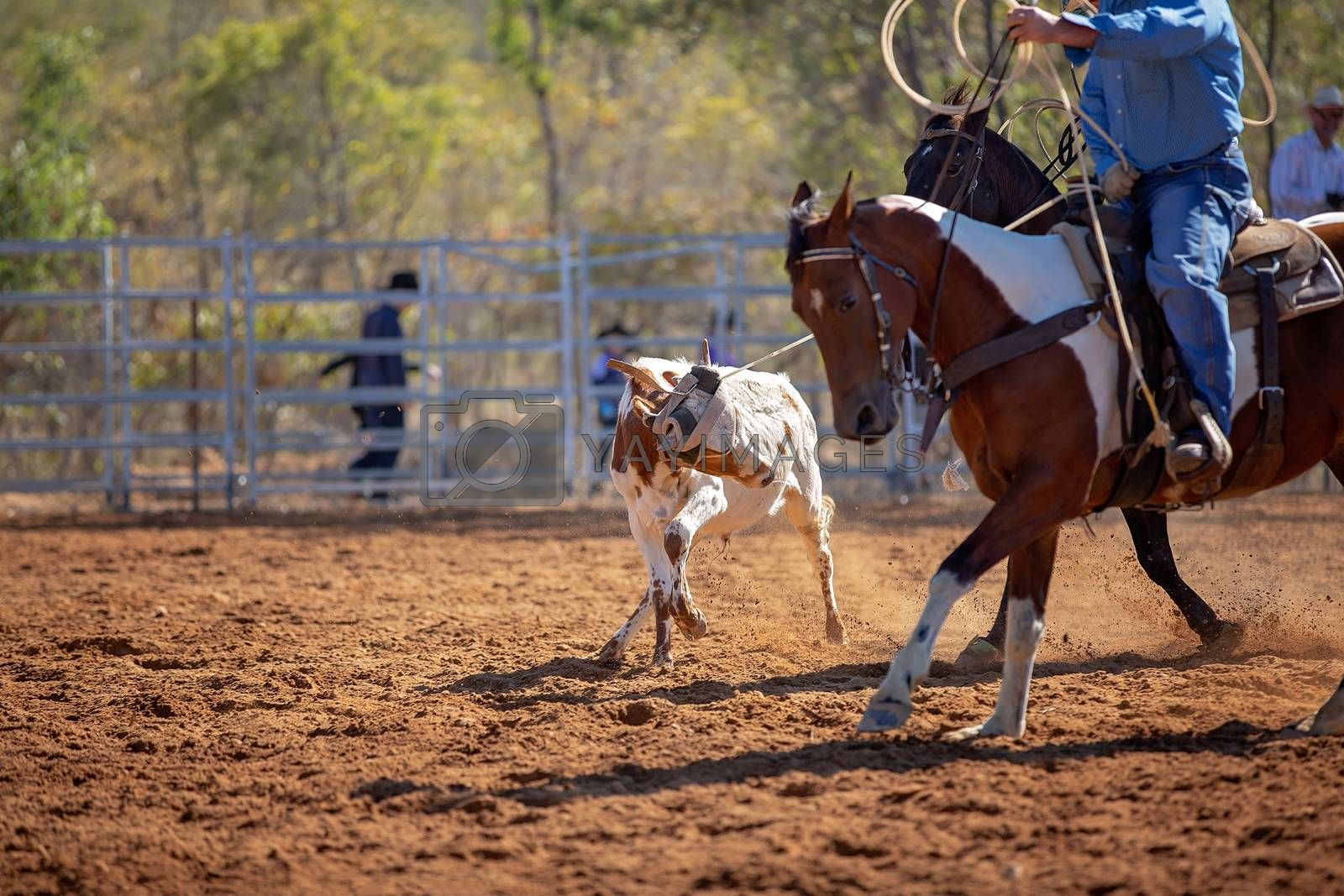 Calf being lassoed during competition at an Australian country rodeo