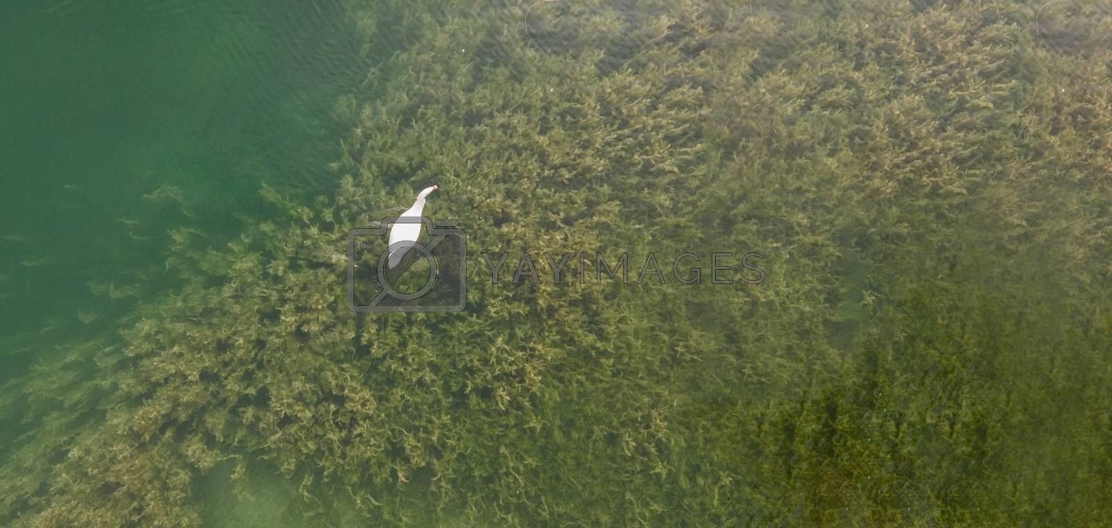 Swan in lake shot from a drone. Copy space