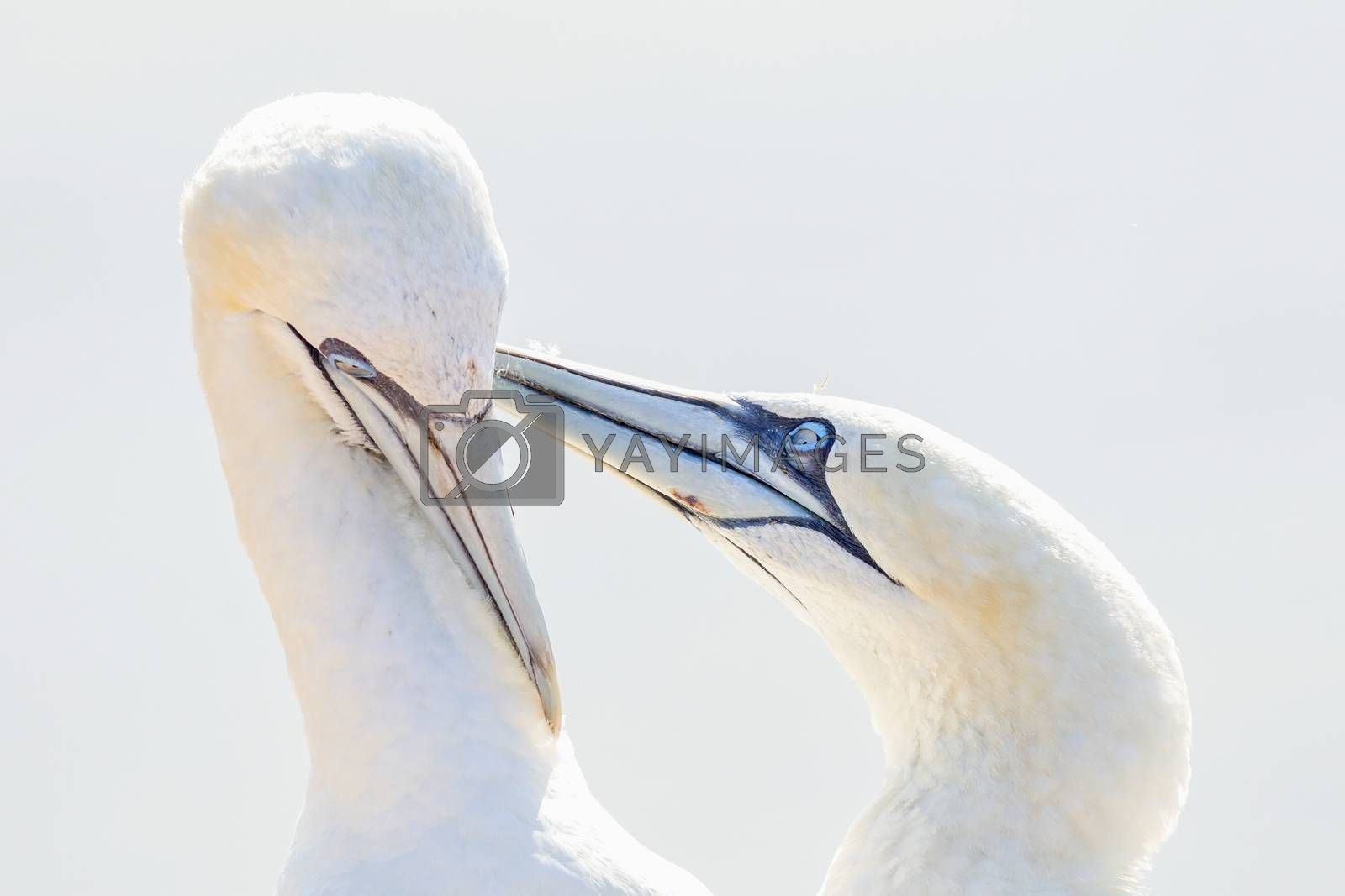 In soft light, two Northern Gannets heads welcome after landing.