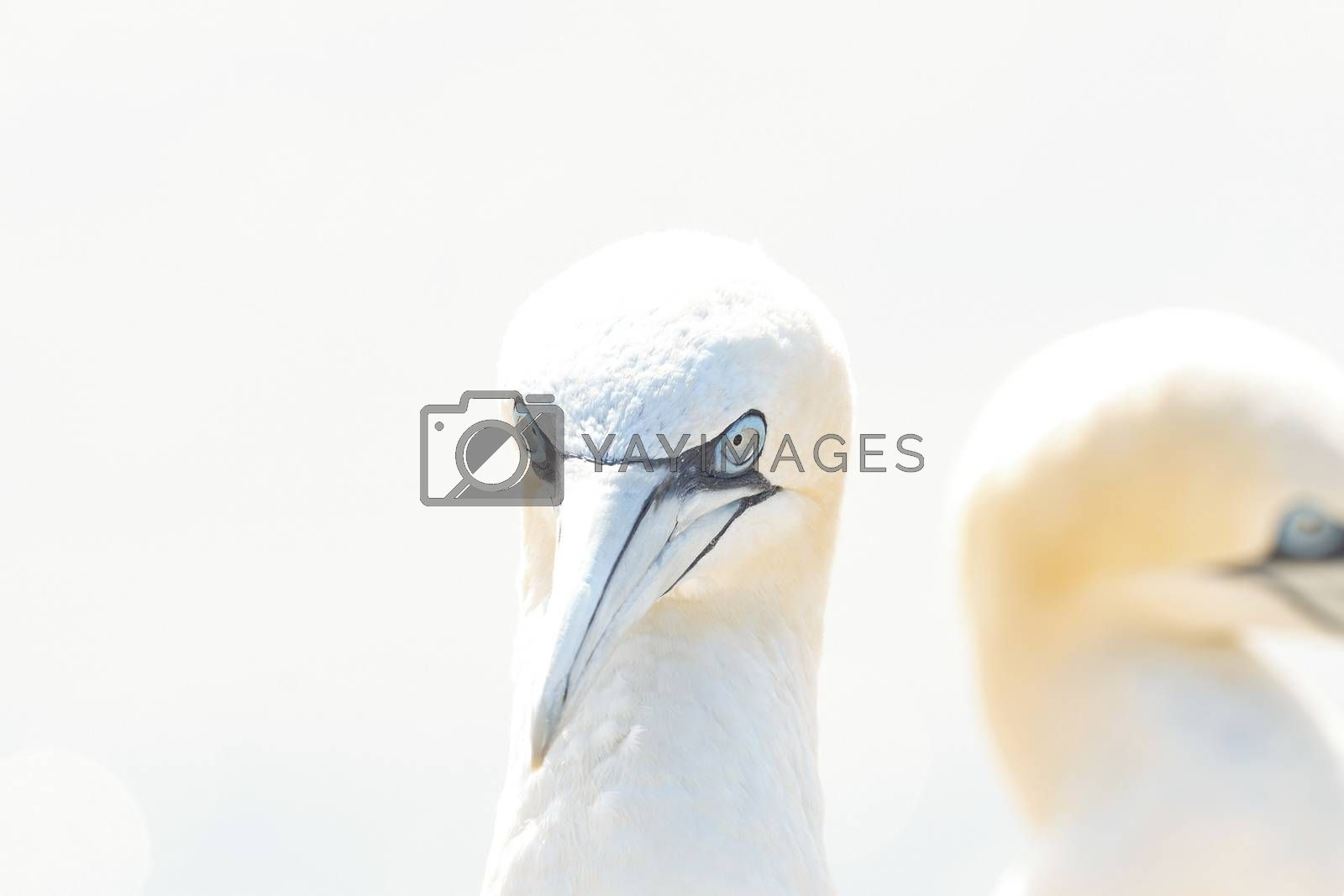 Portrait of pair of Northern Gannet, Sula bassana, Two birds love in soft light, animal love behaviour. Soft light in high-key.