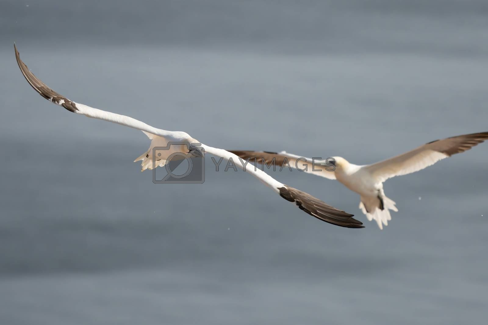 Two white and yellow gannets flies through the sky, blue, gray sea in background.