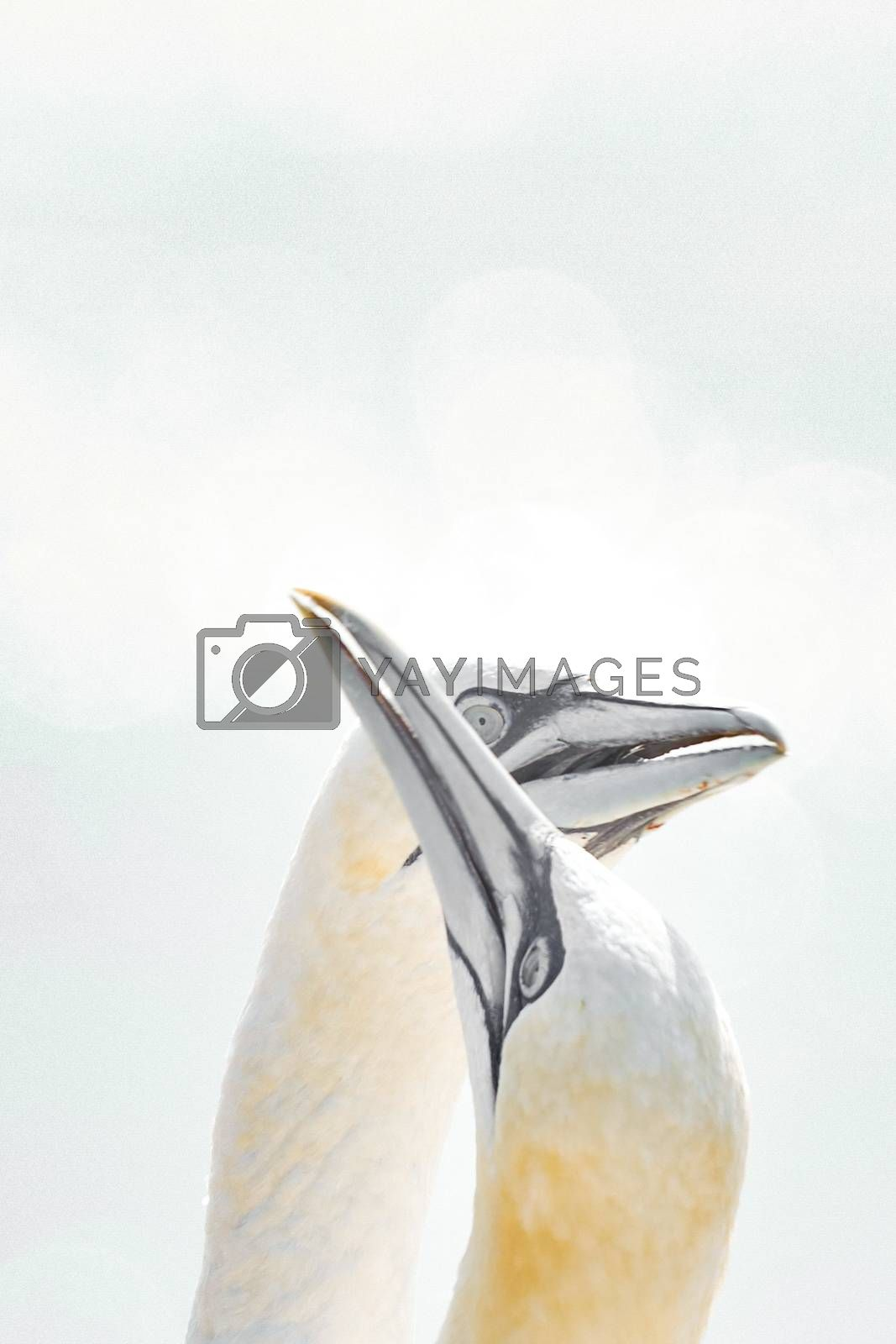In soft light, two Northern Gannets heads welcome after landing. Nice bokeh in background.
