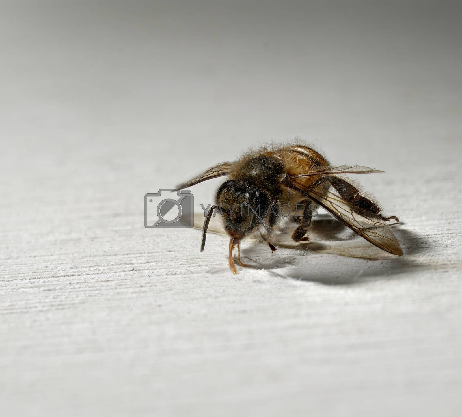 A close up of one worker bee on a white wooden background.