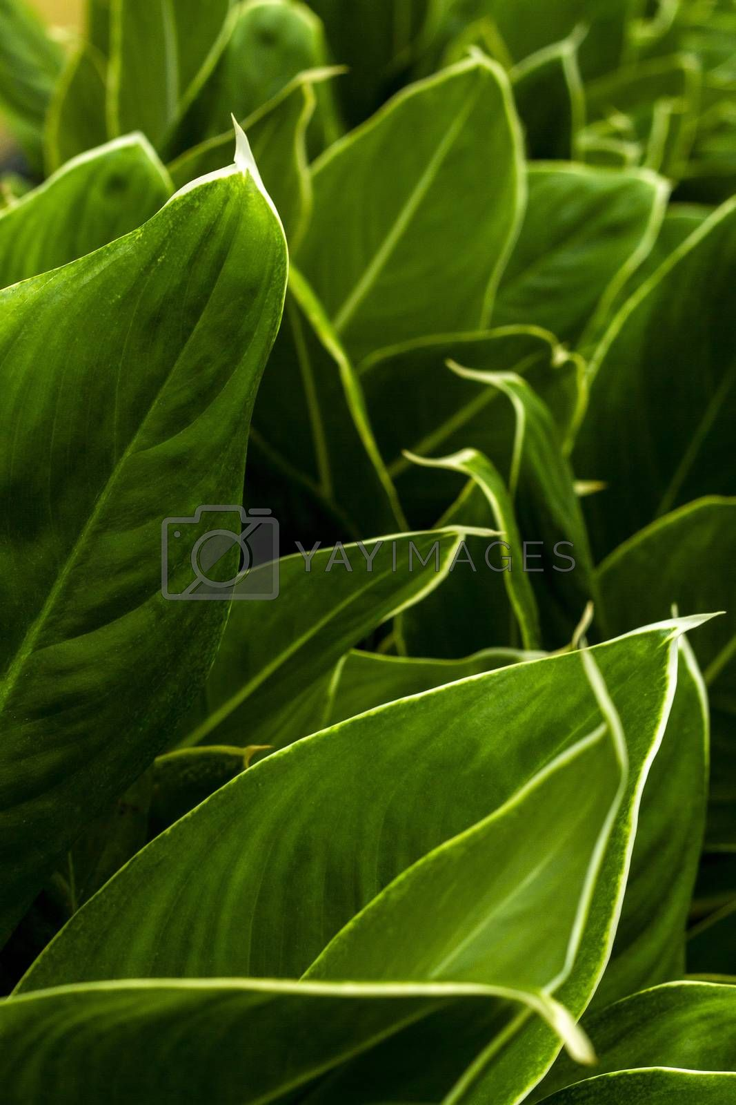 Close up of green leaf texture for background
