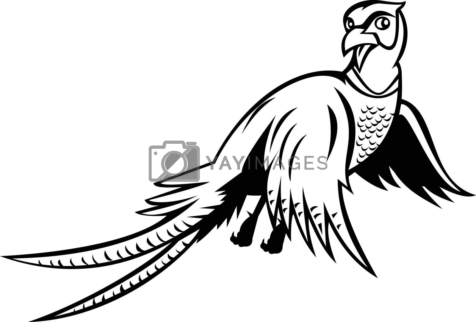 Cartoon style illustration of a ring-necked pheasant Phasianus colchicus, a game bird, flying up viewed from low angle on isolated background done in black and white style.