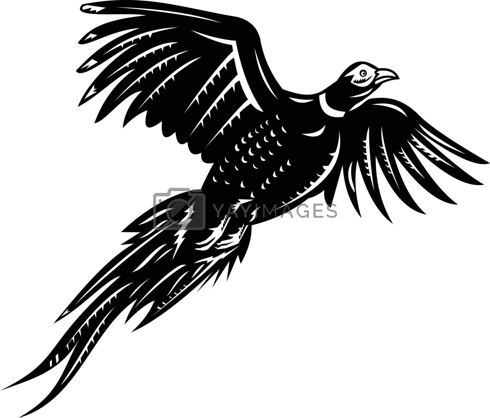 Retro style illustration of a ring-necked pheasant or common pheasant, a game bird flying viewed from low angle on isolated background done in black and white style.