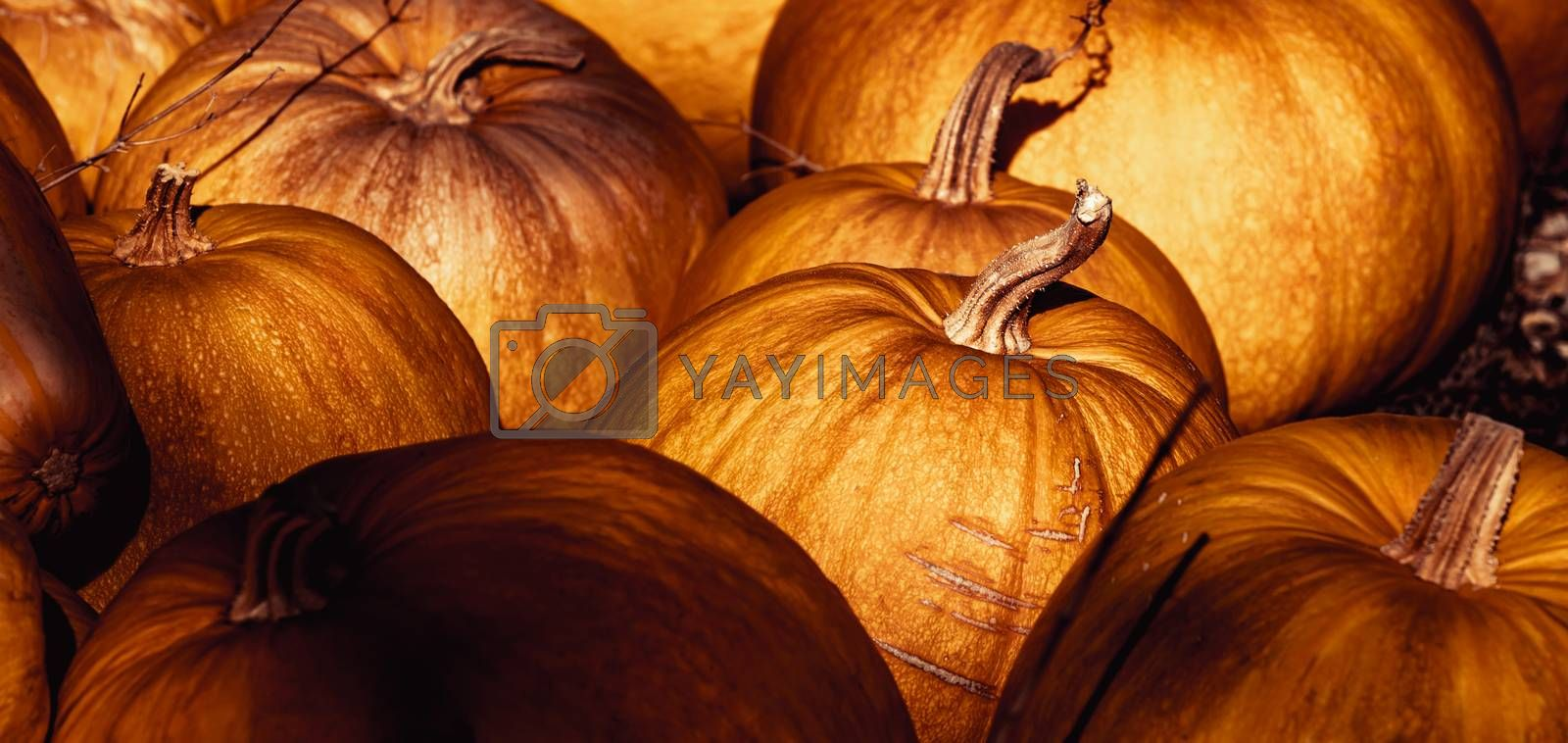 Royalty free image of Ripe Pumpkins Background by Anna_Omelchenko