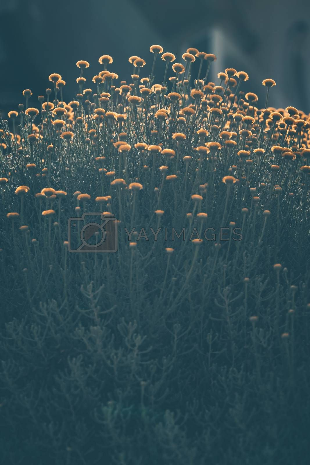 Royalty free image of  Chrysanthemum Flowers Background by Anna_Omelchenko