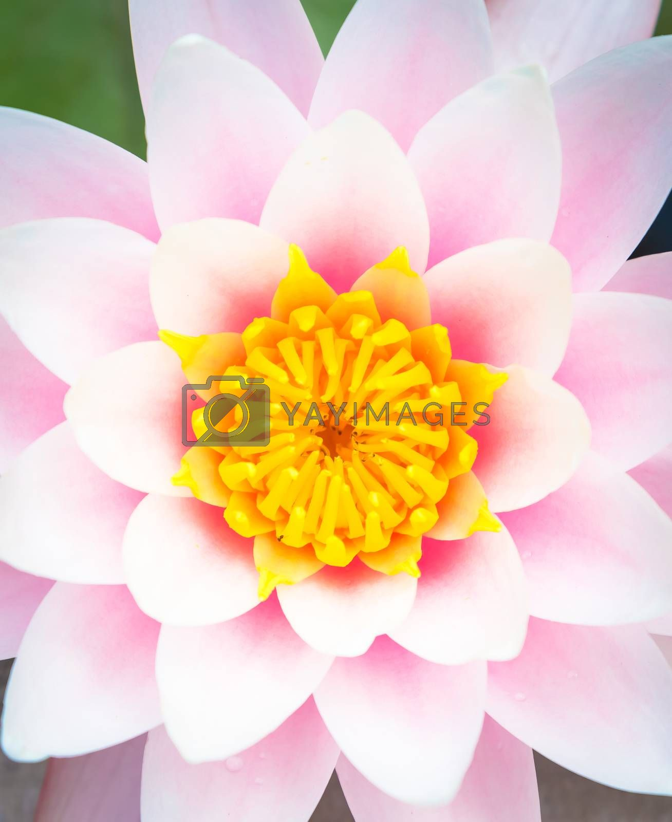 This is a living water lily (no studio photo) with natural sunlight. Useful for romantic and calm concepts.