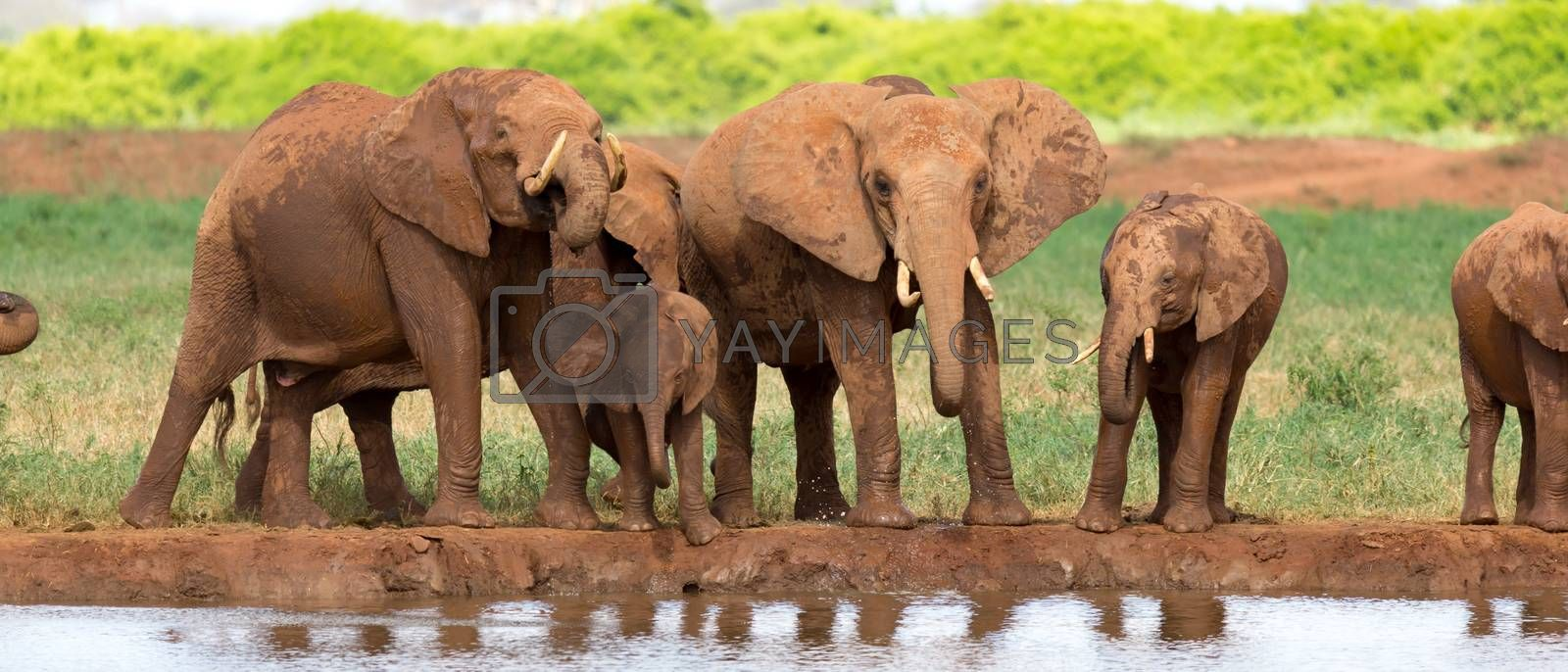 The family of red elephants at a water hole in the middle of the savannah