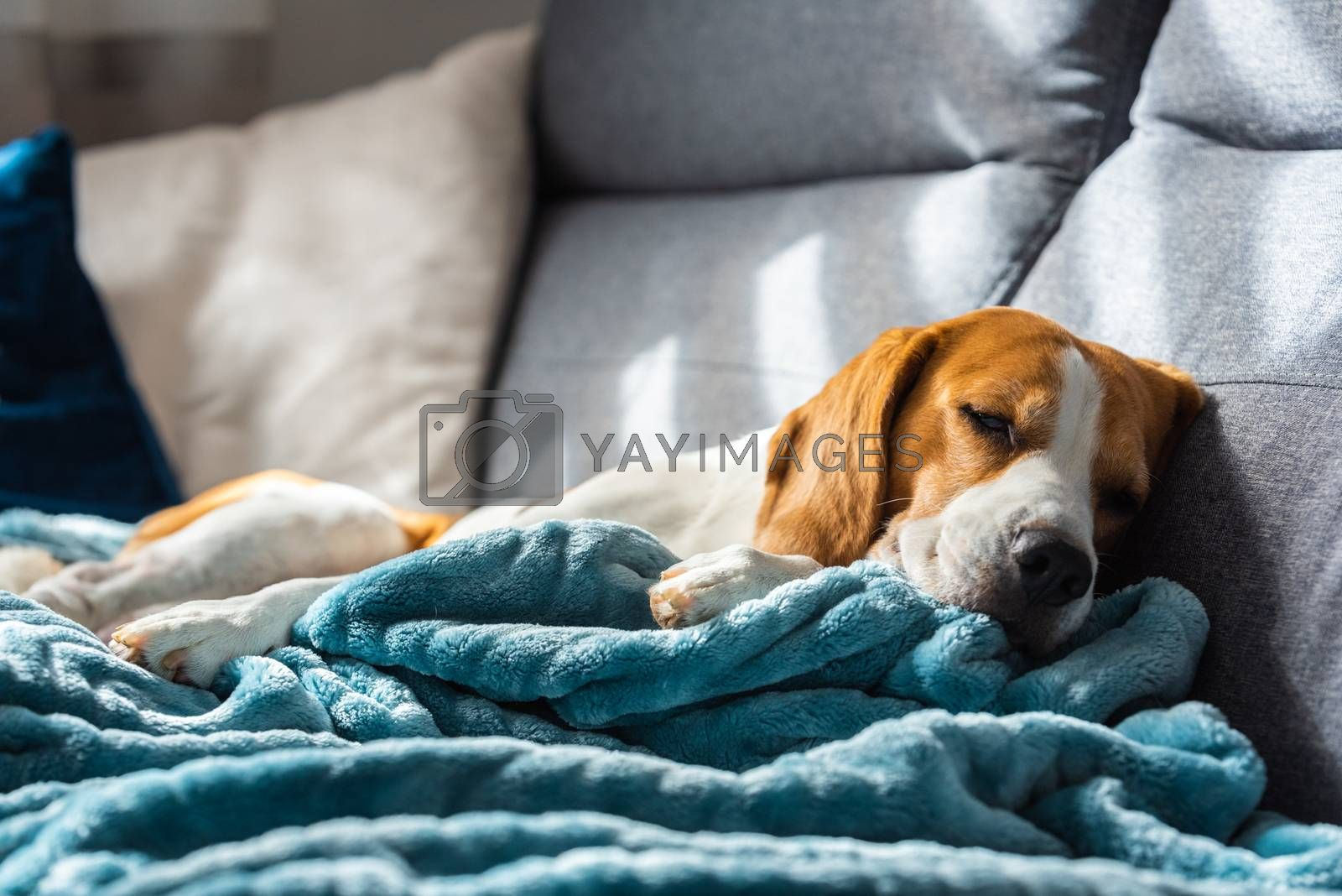 Beagle dog tired sleeps on a cozy sofa in bright room. Canine theme