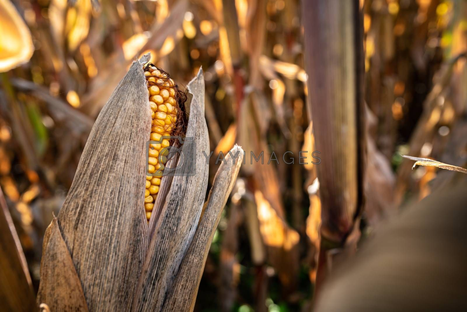 Yellow corn in agricultural field against autumn sun. Selective focus. Maize plant.