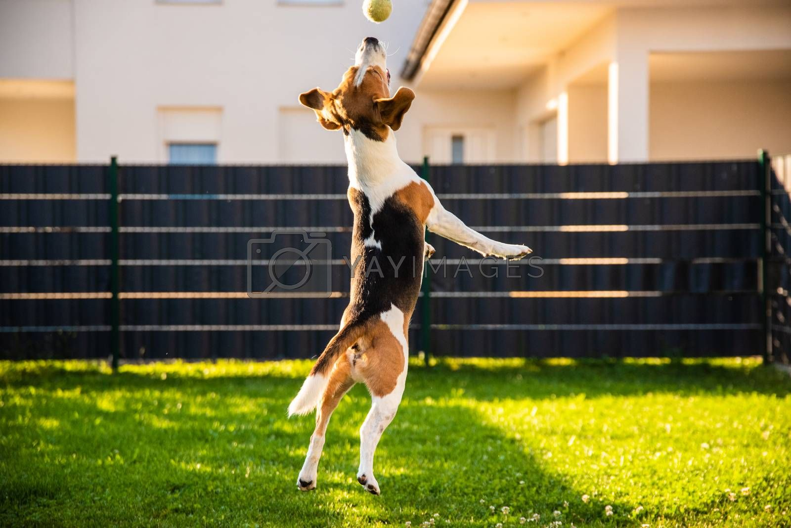 Beagle dog jumping and playing with a ball in green garden park, having lots of fun