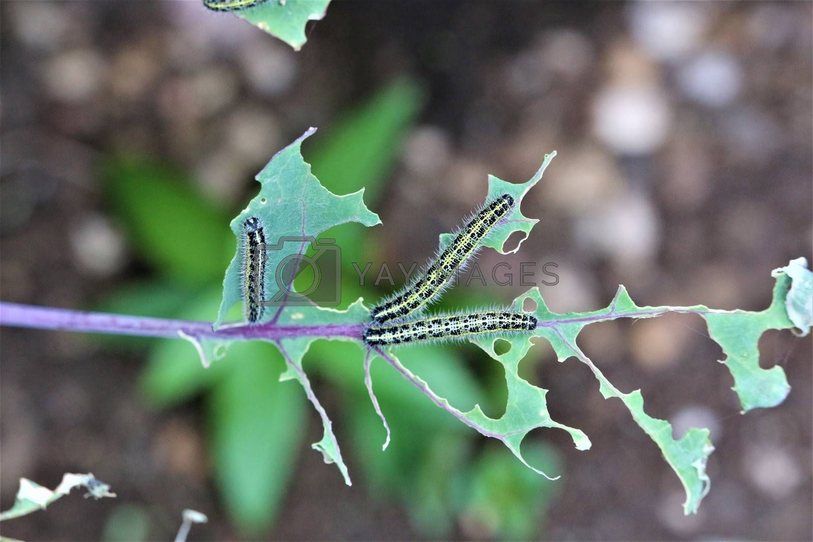 Close-up of two cabbage caterpillars on an eaten cabbage leaf