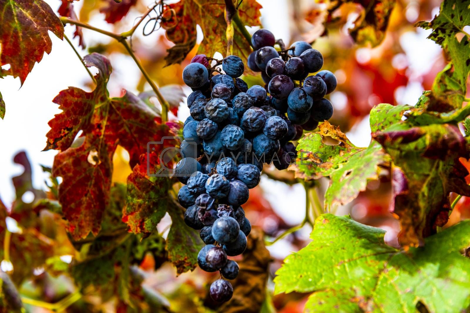 close up of bunches of grapes in autumn in Castegnero, Vicenza, Veneto, Italy