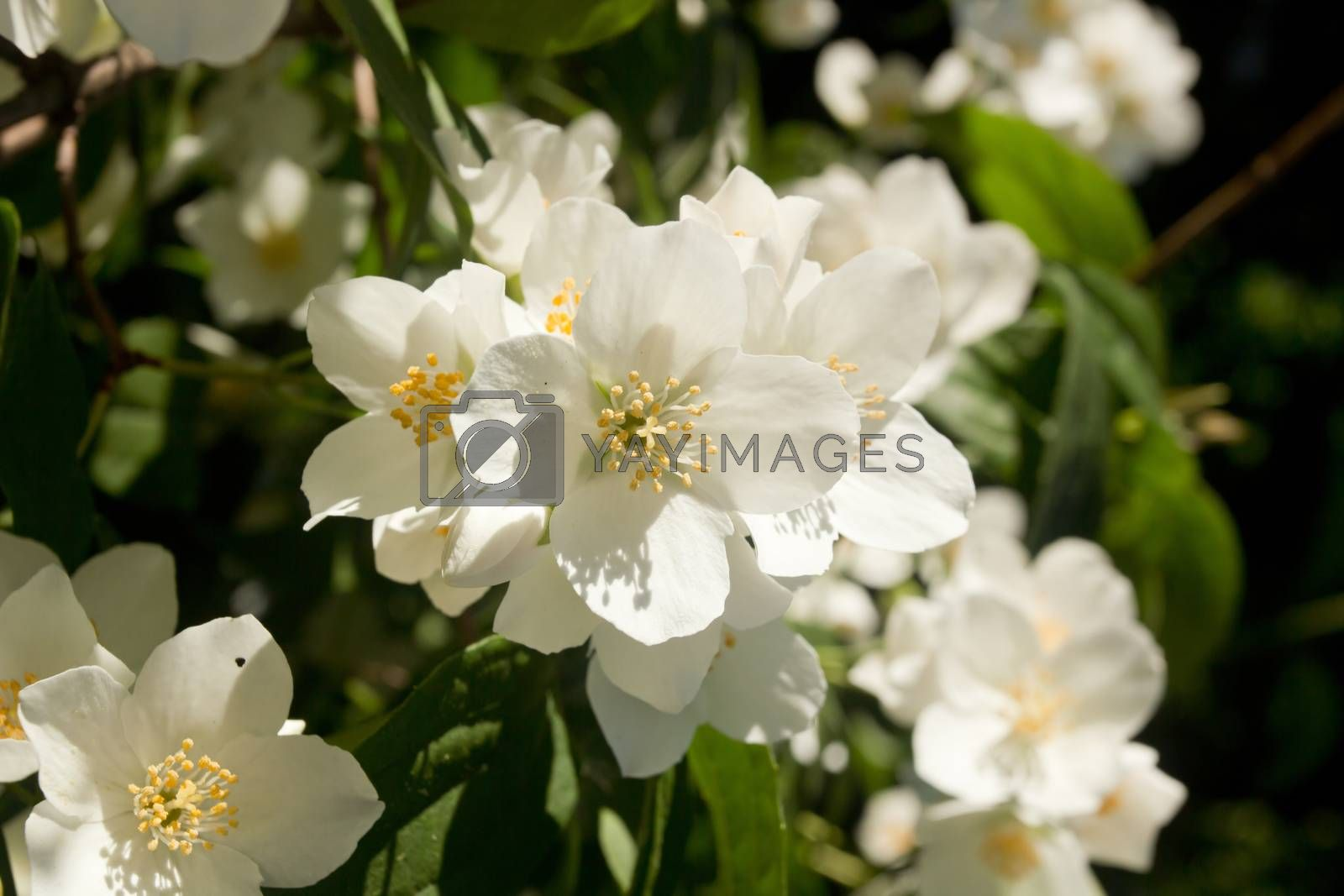 Blooming apple tree branches in spring close up