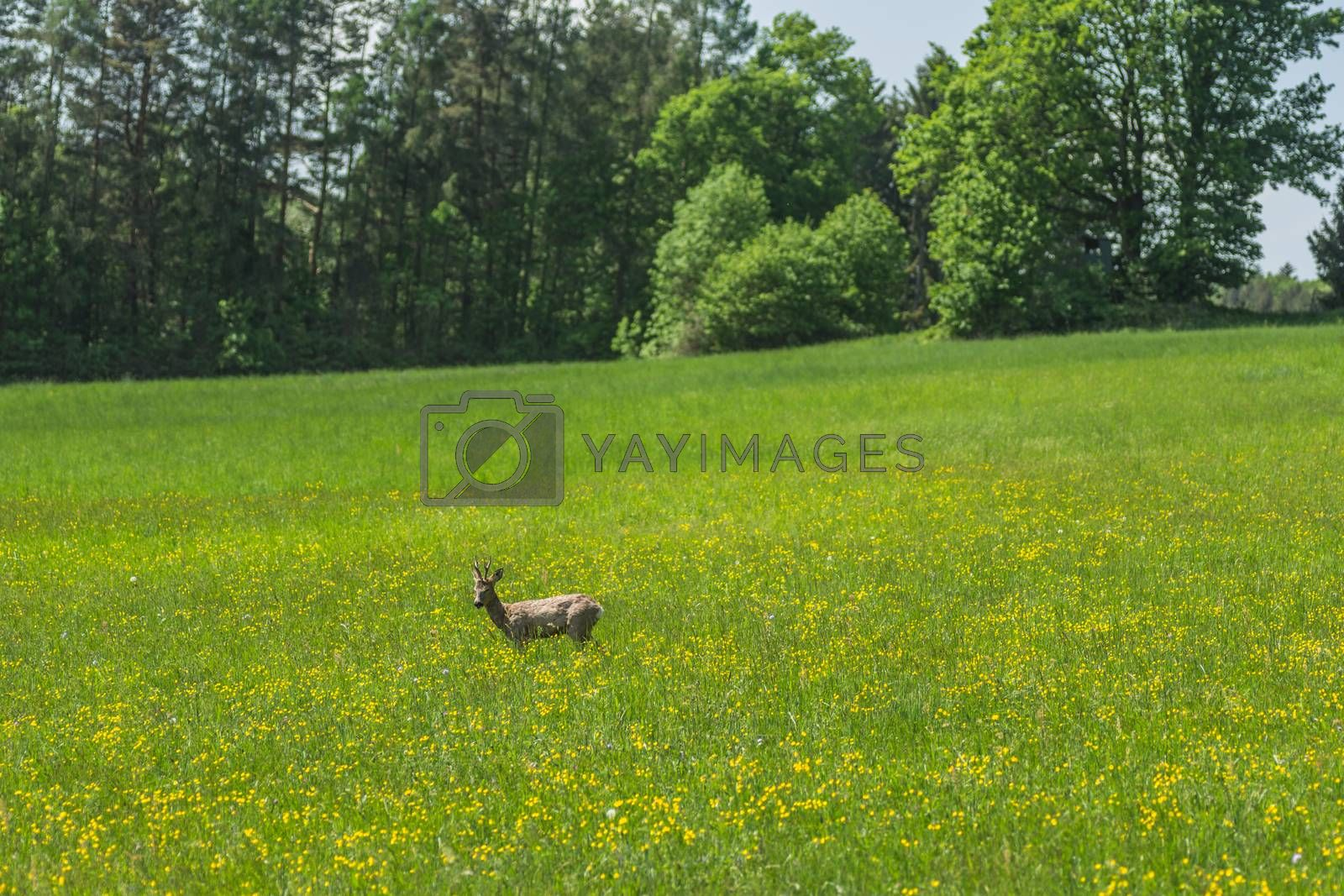 deer on a meadow with yellow flowers in spring