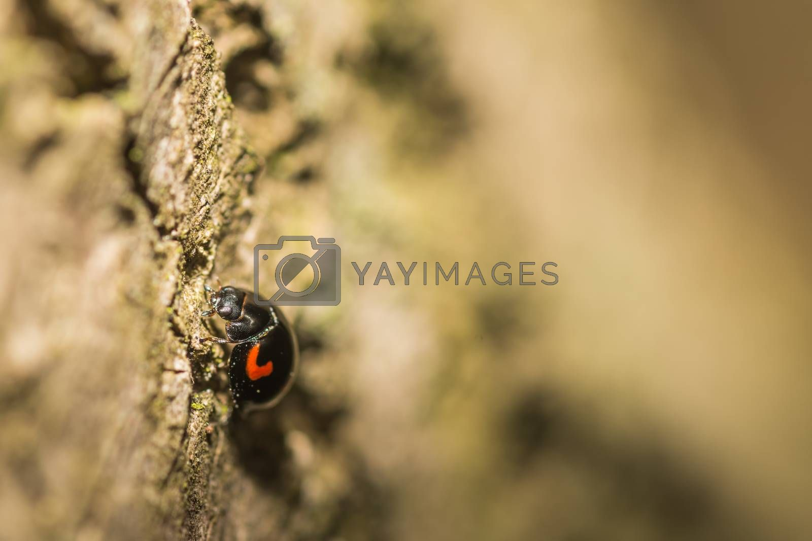 little black red beetle on a tree in the forest