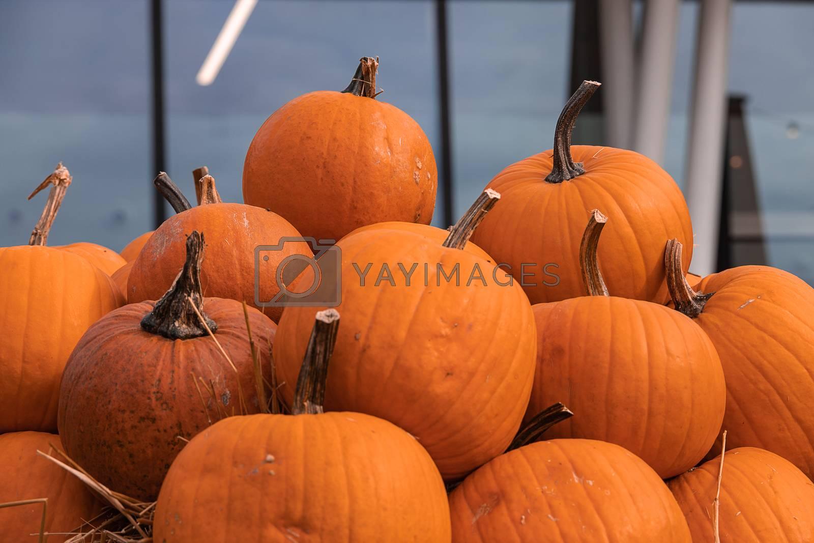 Royalty free image of big autumn orange pumpkins in an outdoor garden by Lukrecja