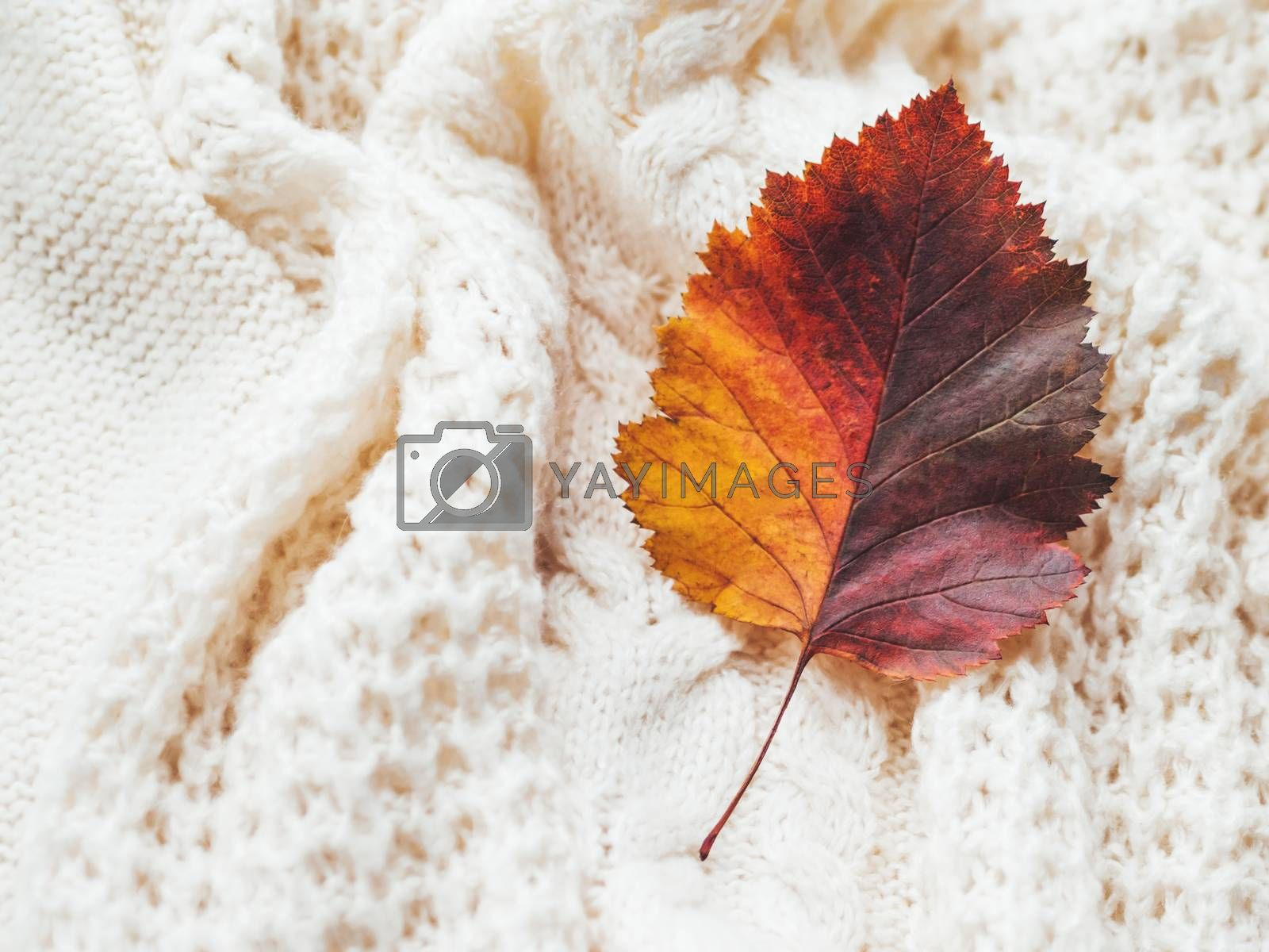 Bright and colorful autumn leaf on hand made cable-knit sweater sweater. Texture of warm knitted fabric with pattern. White crumpled cardigan. Cozy fall outfit for snuggle weather.