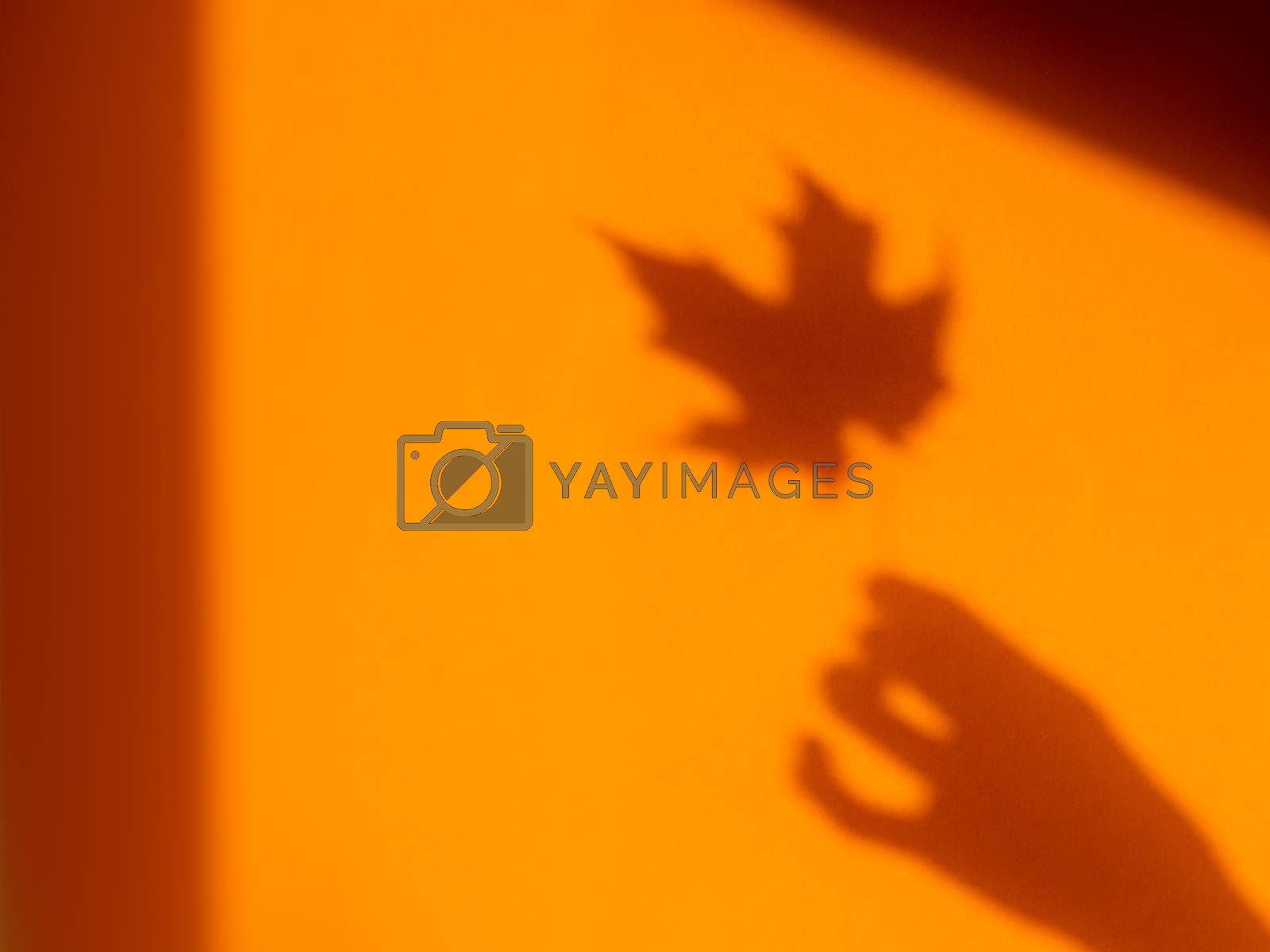 Shadows of woman hand with autumn maple leaf on bright orange wall. Hard sunlight, elegant gesture and fragile plant. Monochrome geometry with light and shadow. Minimalism. Fall season.