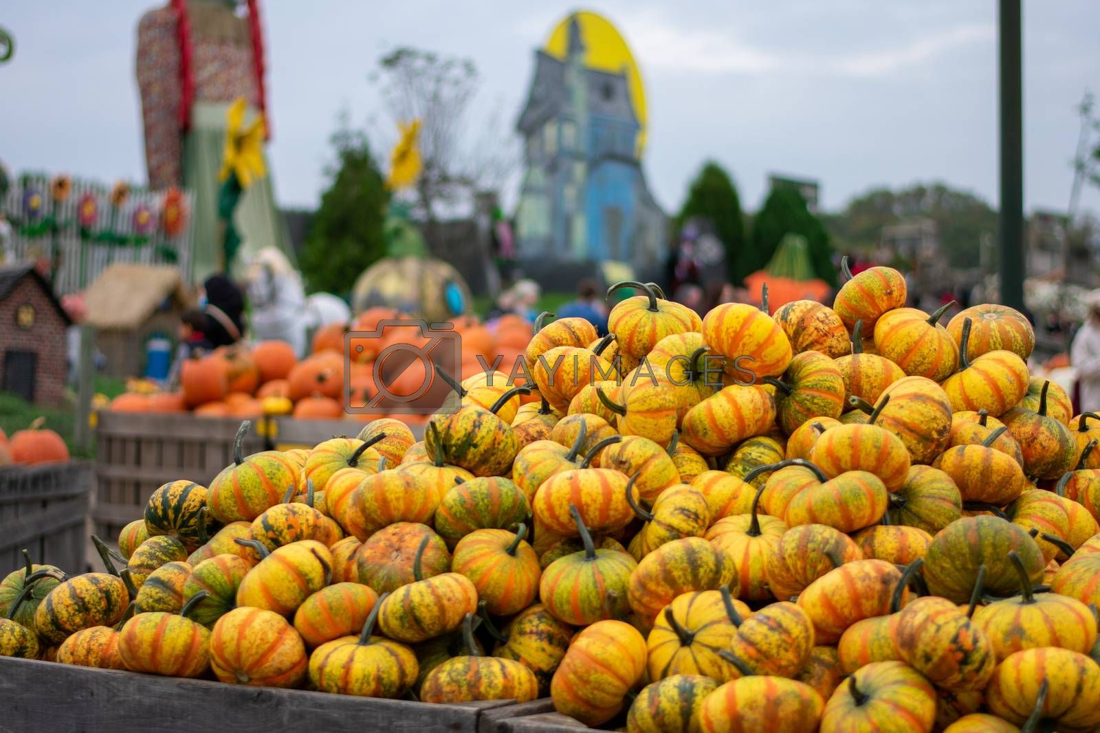 A Pile of Small Yellow Pumpkins With Stripes at a Farmer's Market Decorated For Fall and Halloween