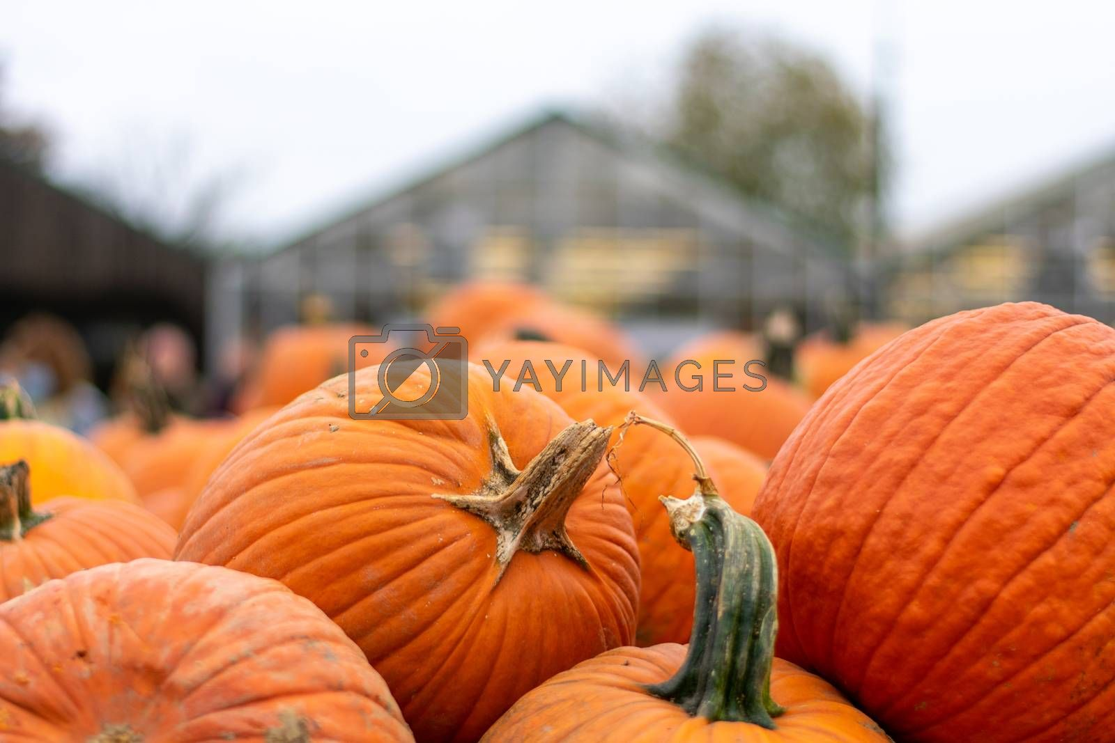 Large Orange Pumpkins in a Pile at a Farmer's Market With a Greenhouse Behind Them
