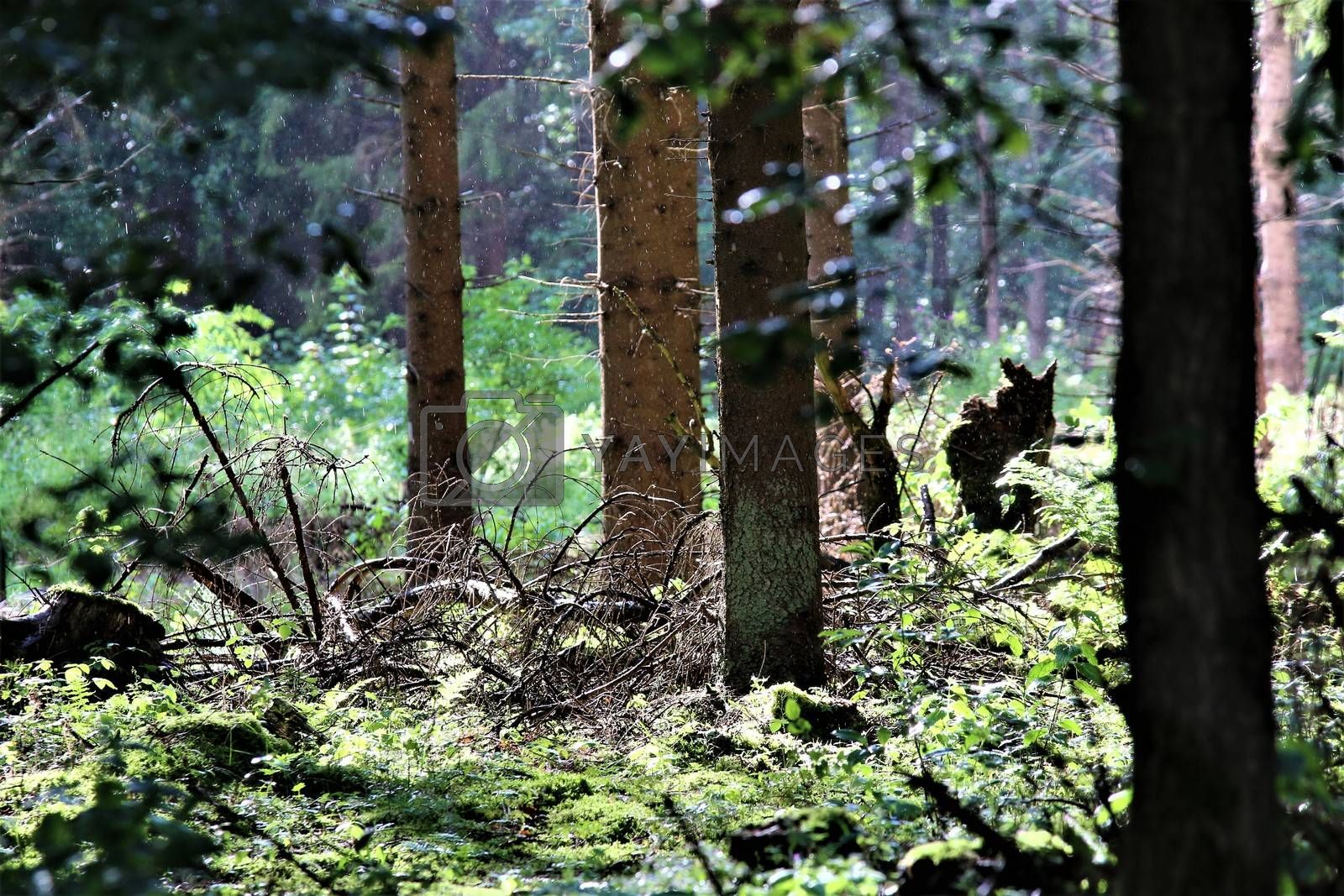View into the forest with dead branches on the ground of a clearing in sunshine and light rain