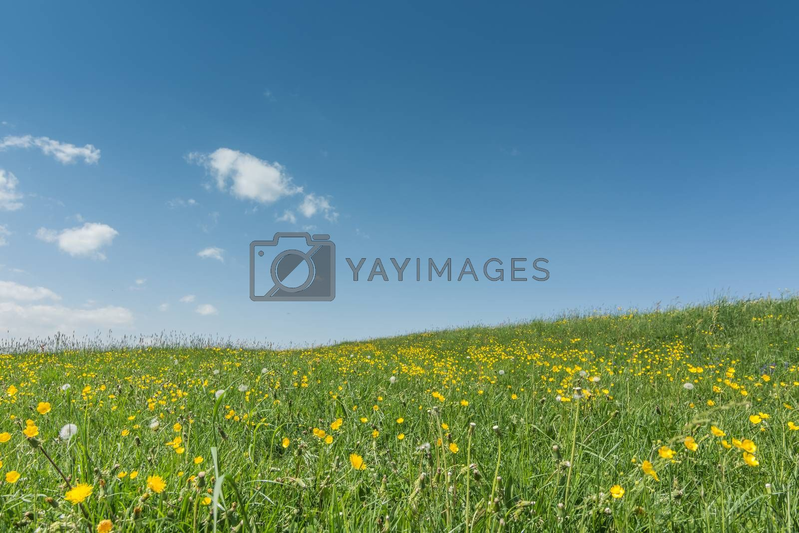 fresh colorful green flower meadow in spring