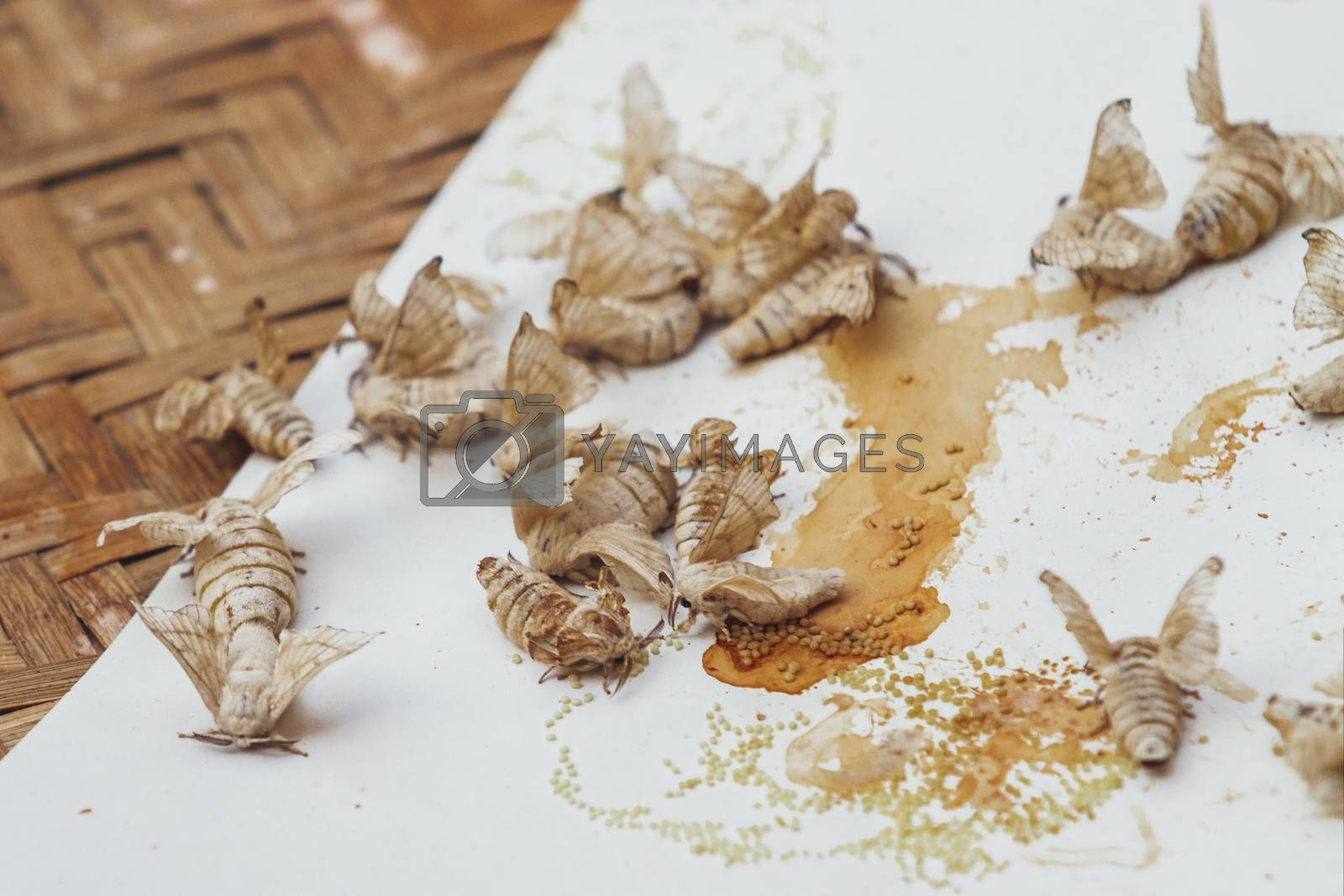 Silkworm butterflies. Close-up of insects suitable for fabric production. Bangkok, Thailand.