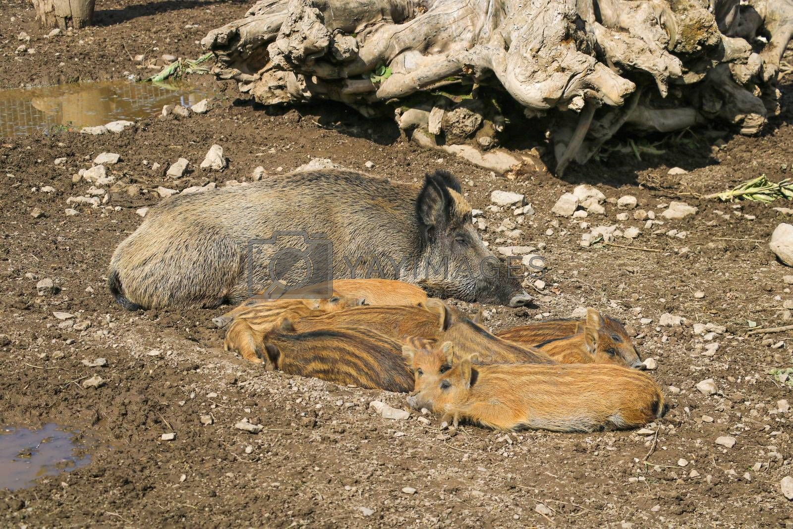 Wild big boar lies on the ground. Selective focus