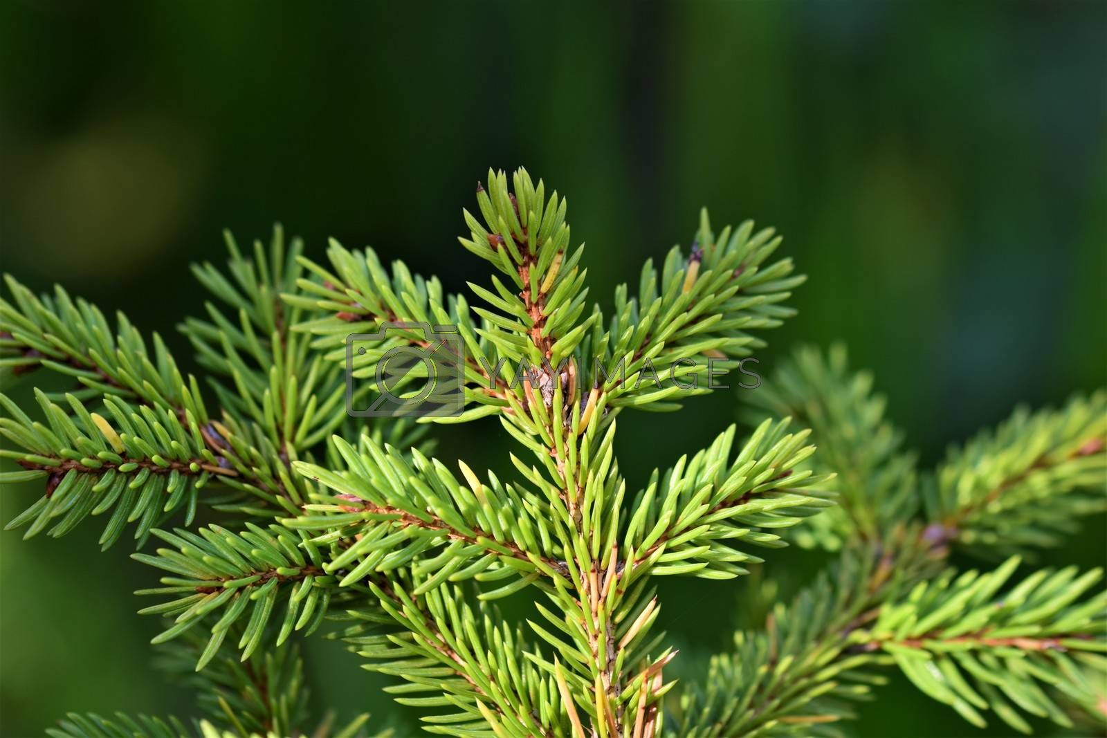 Close up of a fir branches against a green blurred ackground
