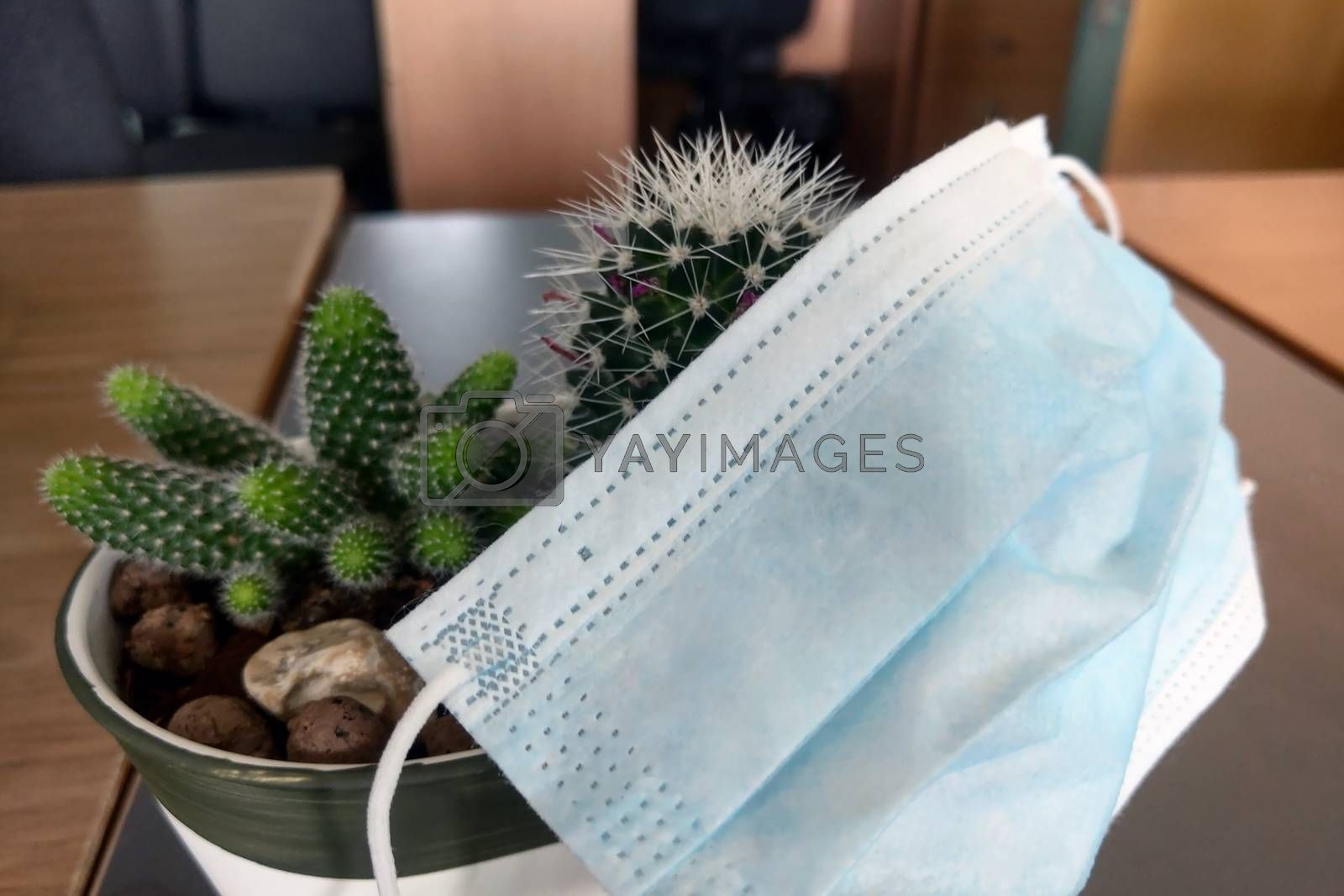 The medical mask lies on the cacti. Plant protection. Prevention of coronavirus