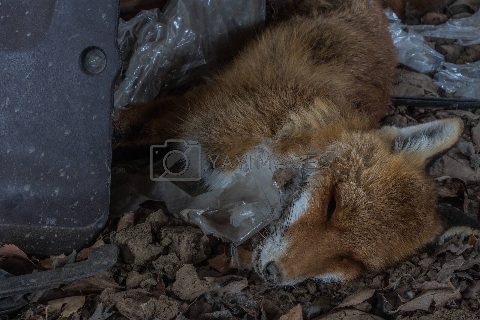 dead fox on the floor in a factory