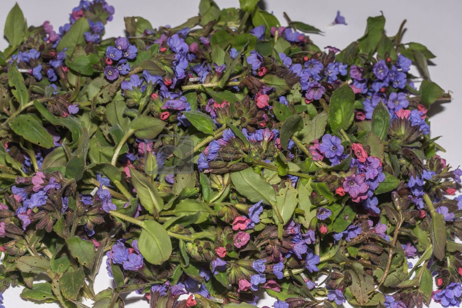 collection of fresh lungwort in spring with white background