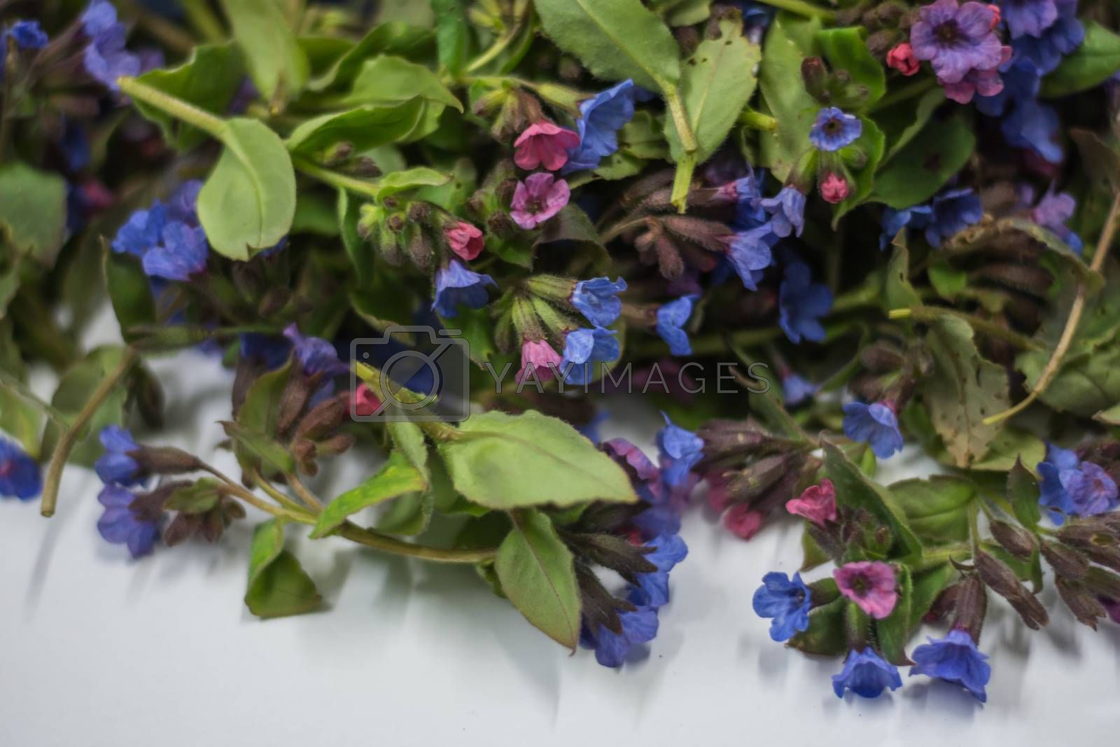 colorful lungwort detailed view in the spring