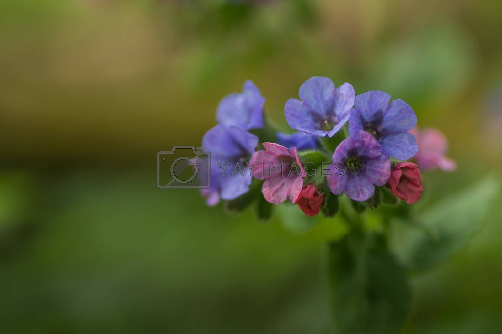fresh colorful lungwort in spring and forest