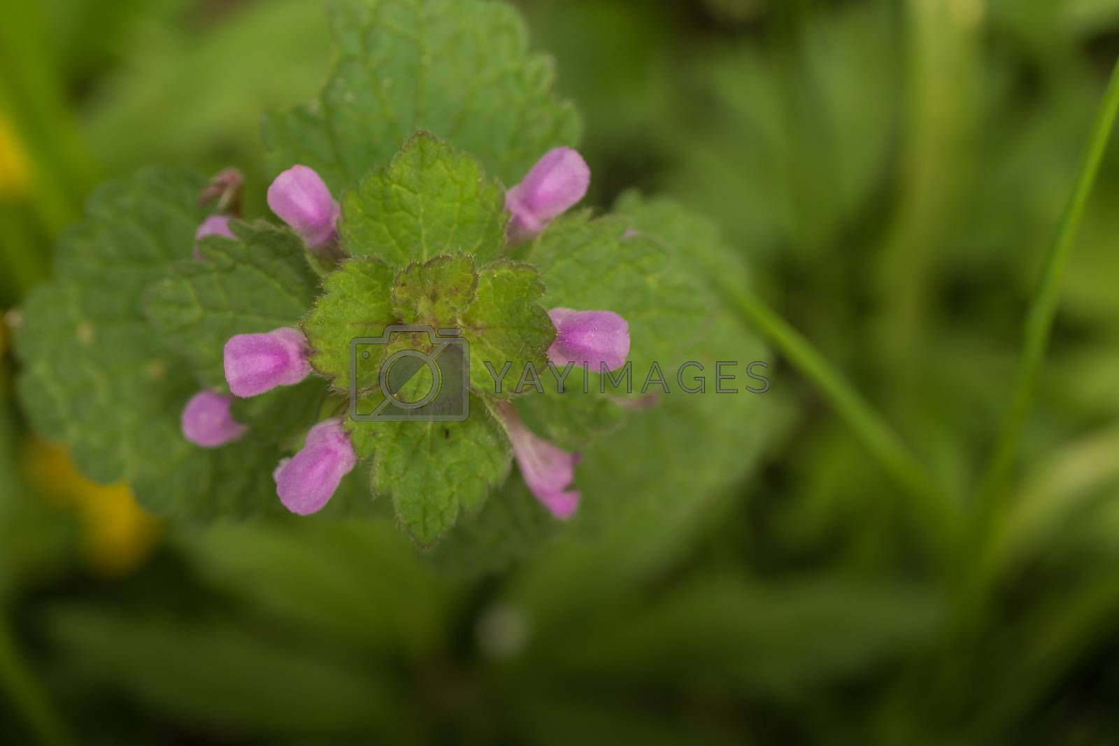 Fresh dead nettle in spring and forest top view