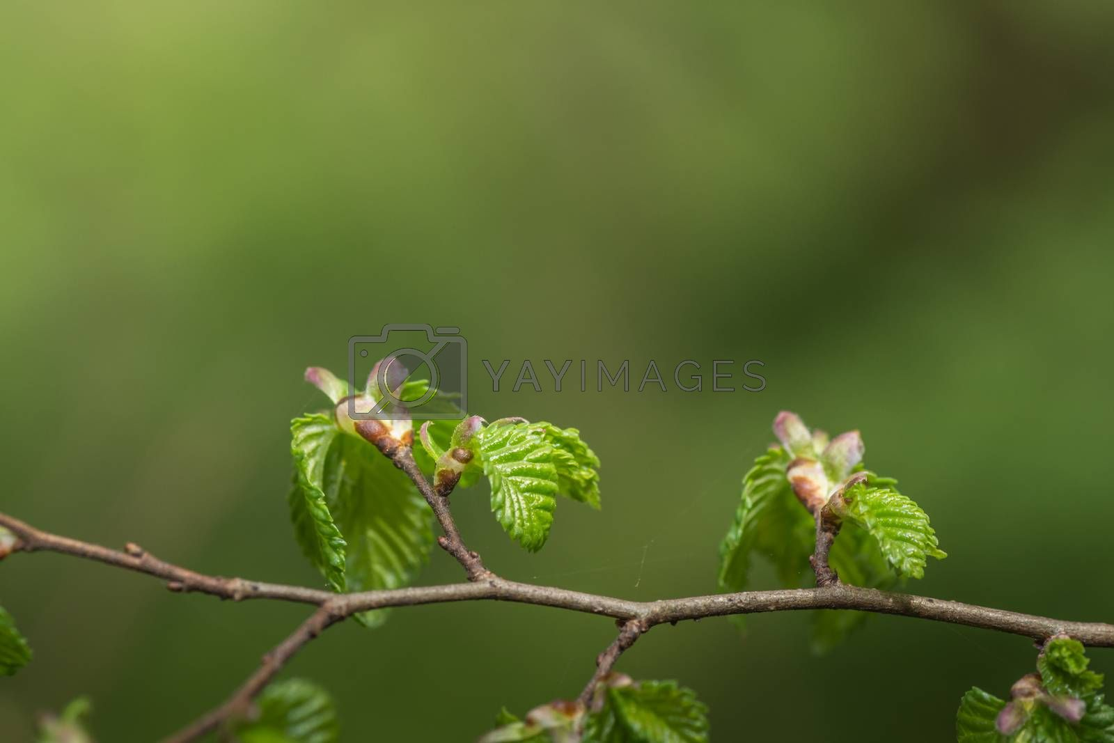 Fresh shoots of hazelnut in the forest and spring