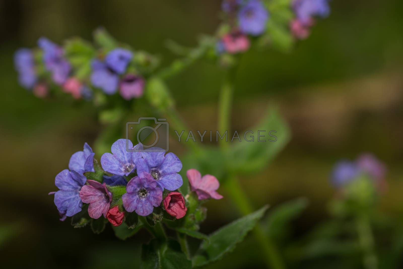 Fresh lungwort in the forest with colorful flowers