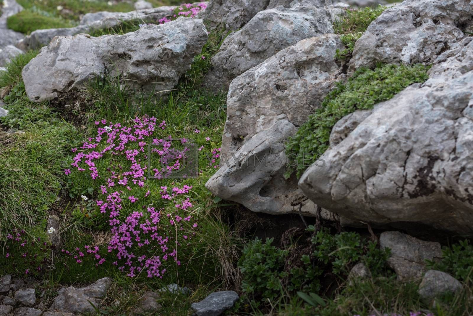 purple flowers on rocks in the mountains while hiking
