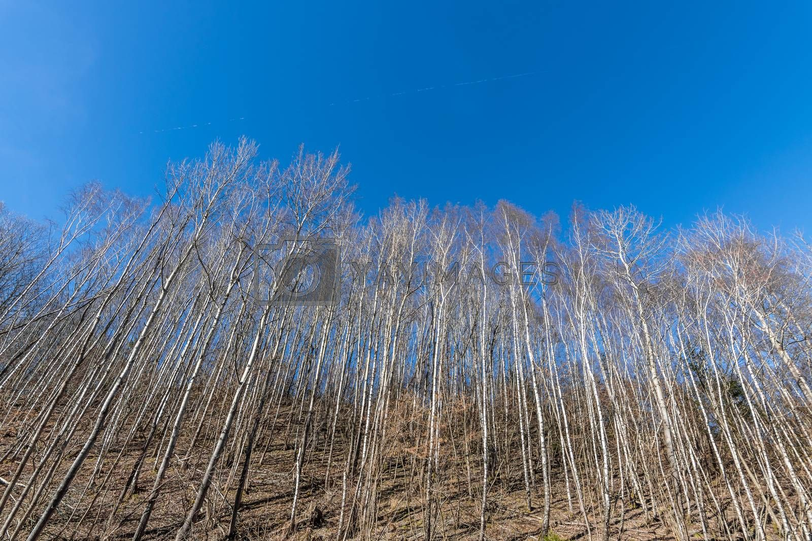tall thin trees and blue sky in spring