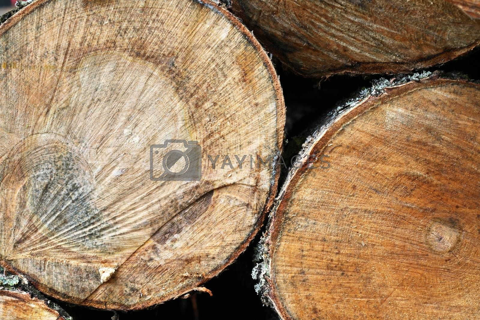 Royalty free image of Cross-Section Of Tree by kvkirillov