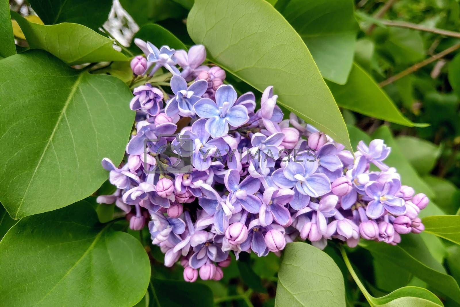 A branch of blooming lilacs in the garden
