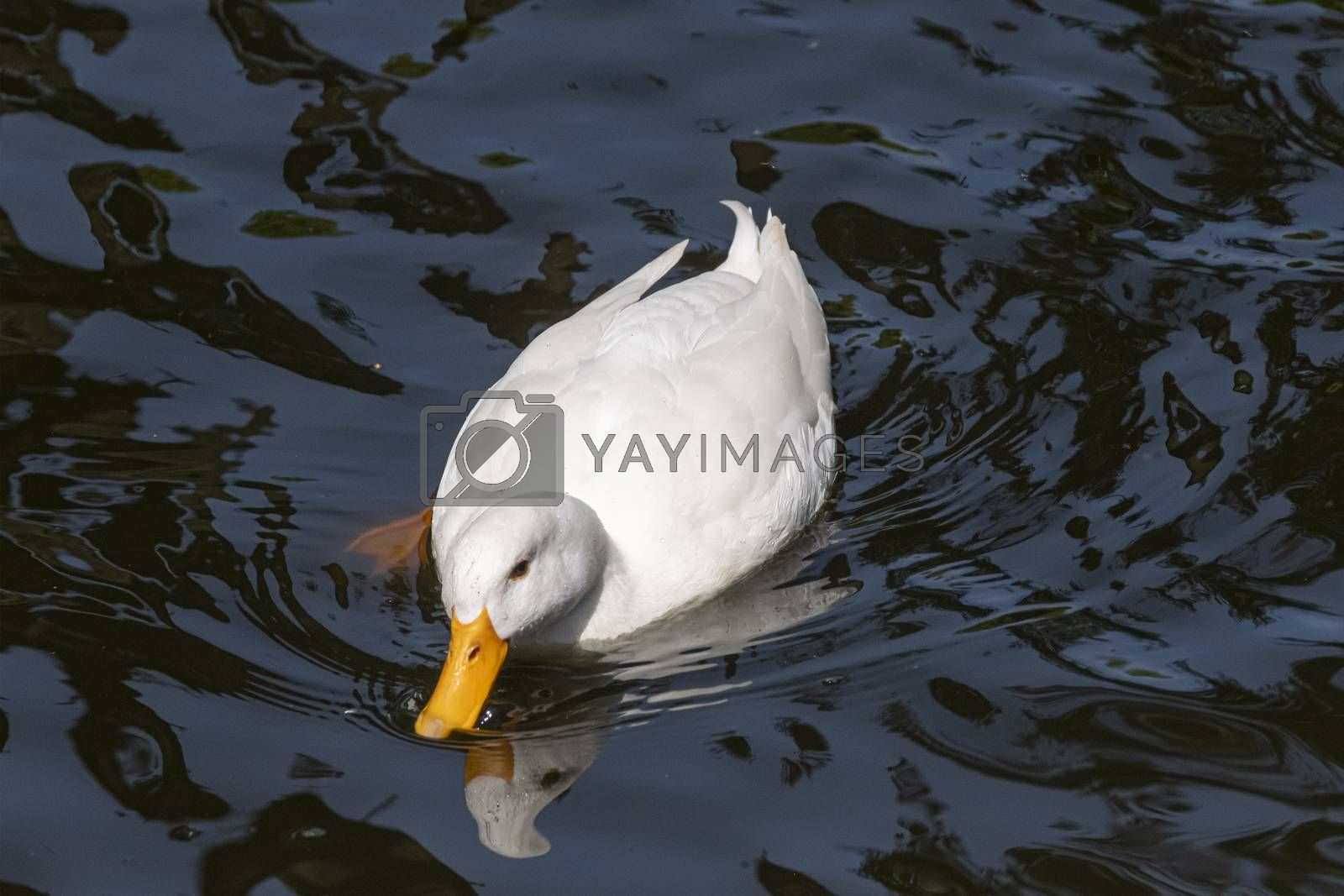 Large white heavy duck also known as America Pekin Duck, the duck swims in dark water with reflections.
