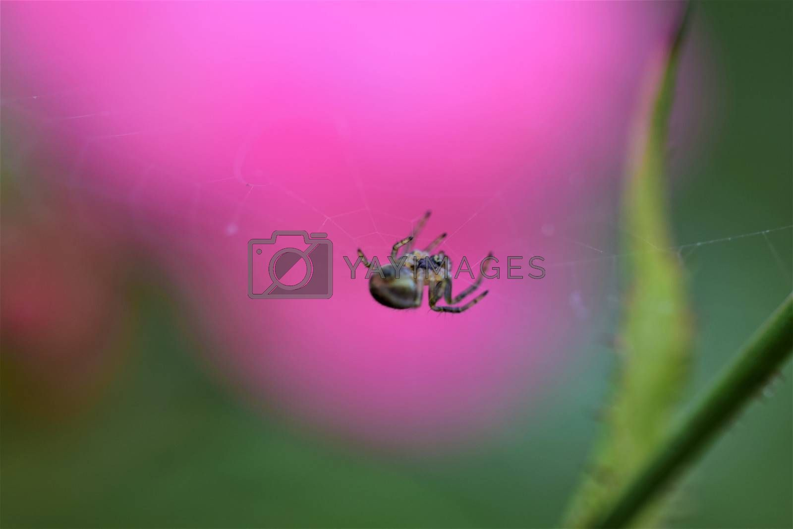 Spider in her spider web against a pink and green blurred background