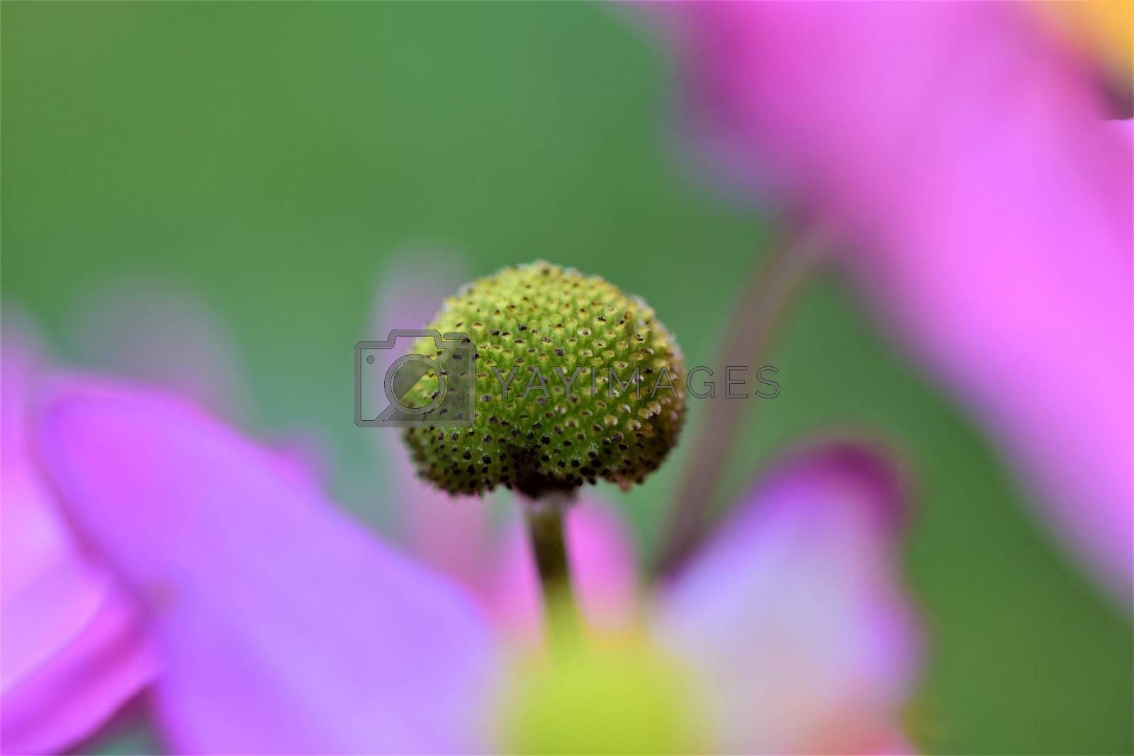 Closeup of the pistil of an autumn anemone