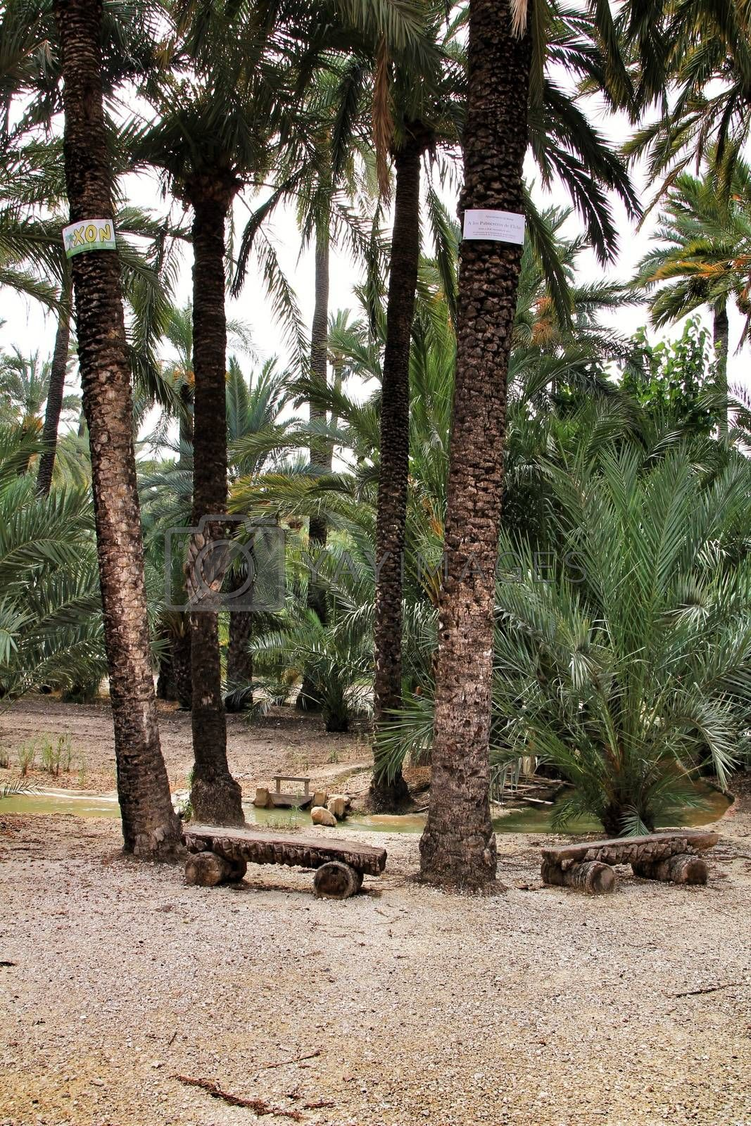 Elche, Alicante, Spain- 30 August, 2020: Path between palm trees in an orchard of Elche. World heritage.