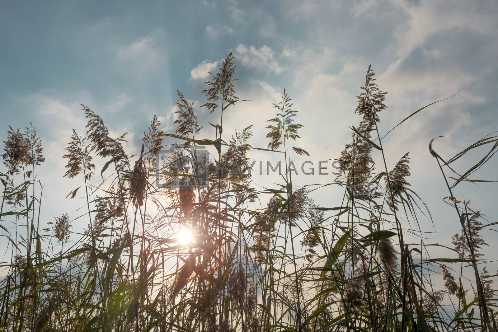 Royalty free image of Ears waving in backlight. by maramade