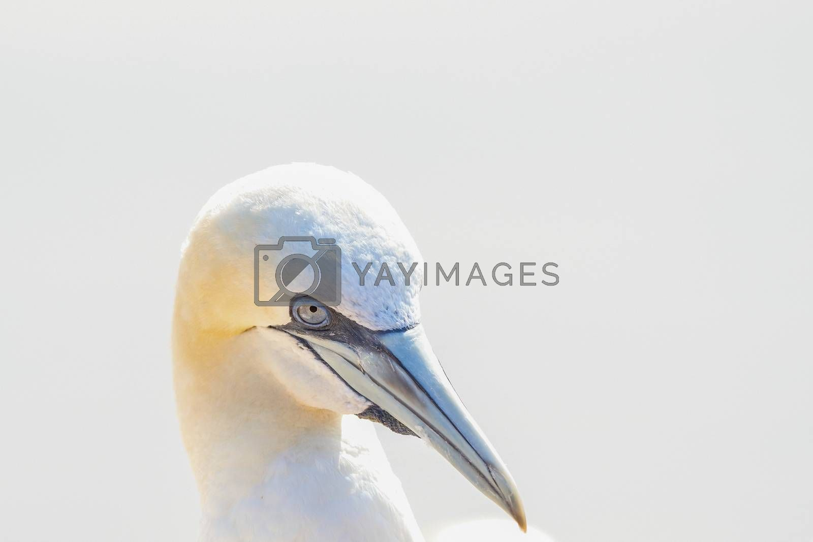 One wild bird head in the wild, Morus bassanus, Northern Gannet on the island of Heligoland on the North Sea in Germany.